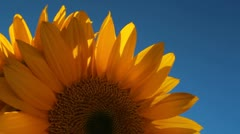 Sunflower Rotates Stock Footage