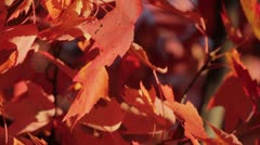 Red Maple Leaves in Canadian Autumn 2 Stock Footage