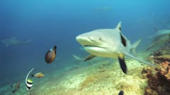 Bull Shark bumping camera Stock Footage