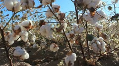 Hand Pulled Cotton Stock Footage