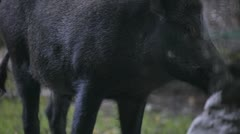 wild boar - stock footage