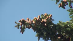 A lump on the branch of a pine Stock Footage