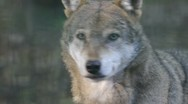 Stock Video Footage of wolf