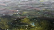 Stock Video Footage of Salmon Pools