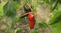 Green & Red Pepper, Vegetables BIO Farm, Ecological Farmer, Organic, ECO HD Footage