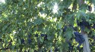 Stock Video Footage of Sunny vineyard in Tuscany