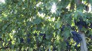 Sunny vineyard in Tuscany Stock Footage