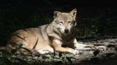 Wolf Stock Footage