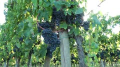 Sunny cluster of red grapes - stock footage
