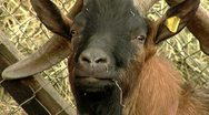 Big Goat Close-up Stock Footage