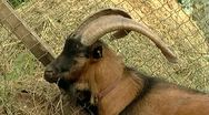 Goat horns close-up Stock Footage
