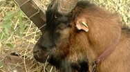Goat close-up Stock Footage