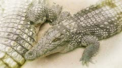 Crocodiles close up Stock Footage