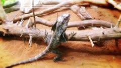 Dragon lizard Stock Footage