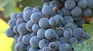 Stock Video Footage of Grapes close-up