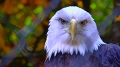 bald eagle in captivity - stock footage