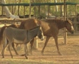 Horses and donkey Footage