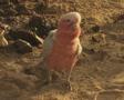 Cockatoo walking across ground Footage