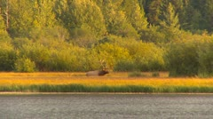 Late summer, Elk in extreme long Stock Footage