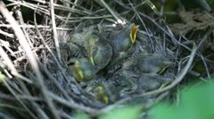 Baby birds Stock Footage