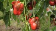 Green & Red Pepper, Vegetables BIO Farm, Ecological Farmer, Organic, ECO Stock Footage