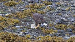American bald eagle Stock Footage