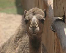 Camel chewing - stock footage