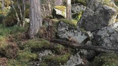 Pine Marten Stock Footage