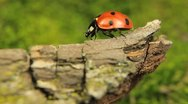 Stock Video Footage of Macro shot of a ladybird (ladybug, ladybird beetle, God's cow, ladyclock)