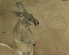 Kangaroo scratching itself - stock footage