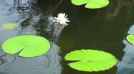 Stock Video Footage of Nature-LillyPads1