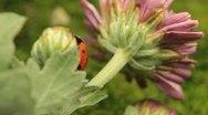 Macro shot of a ladybird (ladybug, ladybird beetle, God's cow, ladyclock) Stock Footage