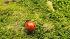 Macro shot of a ladybird (ladybug, ladybird beetle, God's cow, ladyclock) - stock footage