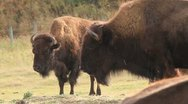 Stock Video Footage of Buffalo stand and chew their cud in the rain