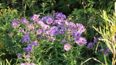 New England Asters in the wild - stock footage