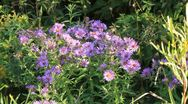 Stock Video Footage of New England Asters in the wild