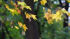 Yellow maple leaves trembling on the wind Stock Footage