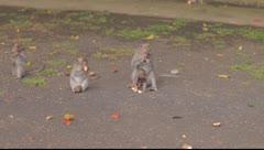 Bali monkeys eating Stock Footage