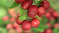 Red apples hanging on a tree. - stock footage