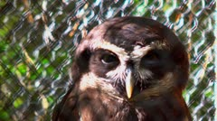 Spectacled owl in captivity 02 Stock Footage