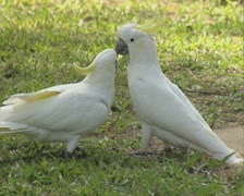 Pair of cockatoos Stock Footage
