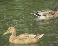 Ducks swimming in pool Stock Footage