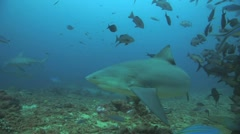 Bull Shark - stock footage