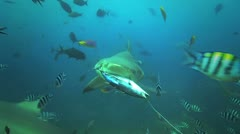 Bull Shark attacks bait Stock Footage