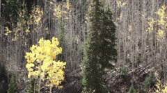 Mountain Aspen and Pine forest Autumn P HD 0429 Stock Footage