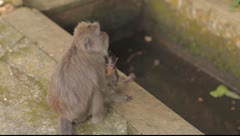 Bali Monkeys Stock Footage