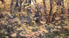 Deer in autumn color leaves P HD 0402 Stock Footage