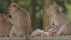Bali Monkeys Grooming Stock Footage
