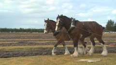 Draught horses pulling a plough - stock footage
