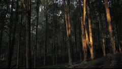 Bali Forest trees - stock footage